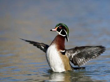 A male wood duck deploys his wings for flight. The duck is sitting in a body of water.
