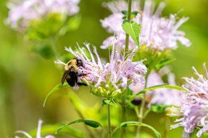 A bee lands on a wild bergamot flower.