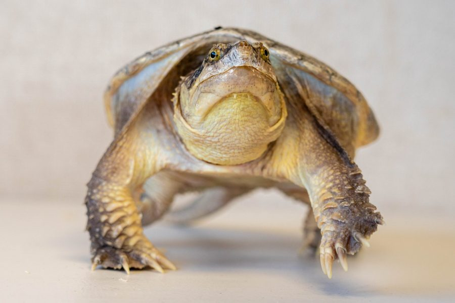 A snapping turtle is walking toward the camera.
