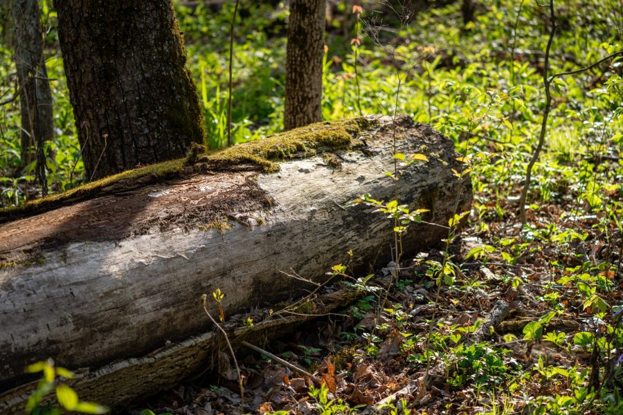 A log sits on the forest floor with moss growing on its sides. Small, blooming plants surround the log.