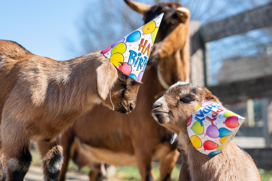 Two baby goats wear birthday part hats to celebrate Great Parks' 90th birthday.