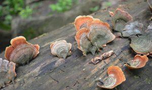 A fungus grows on a log