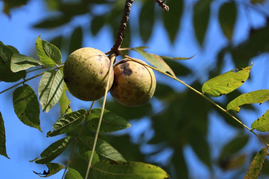 Two black walnuts hang from a branch of a black walnut tree.