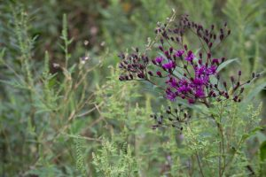 Bright purple ironweed stands out among the greenery at Oak Glen Nature Preserve