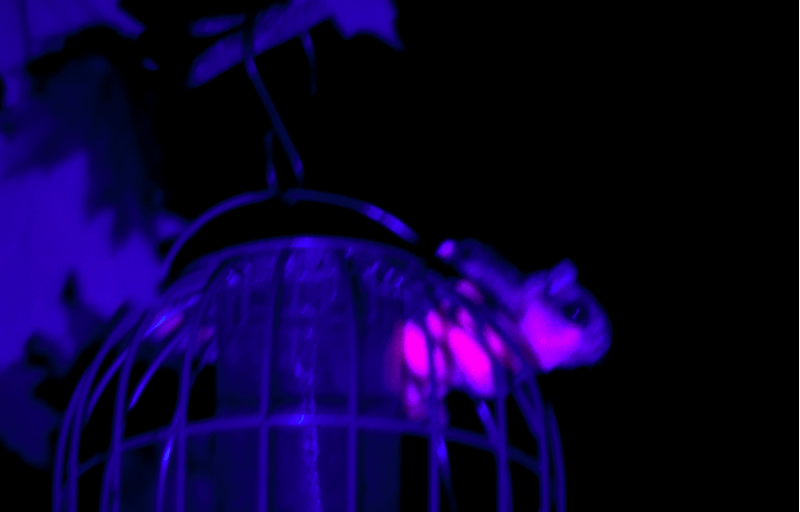 A flying squirrel sits atop a bird feeder in the dark of the night, glowing bright neon pink from the light of an ultraviolet flashlight.