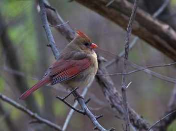 A female northern cardinal with brown and red feathers sits on a tree branch during a winter morning.