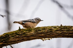 A white-breasted nuthatch sits high up on a tree branch.
