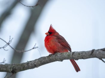 A male northern cardinal sits on a tree branch. Its bright red feathers contrast against the gray sky in the background.