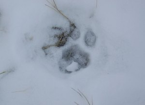 A mountain lion track in the snow.