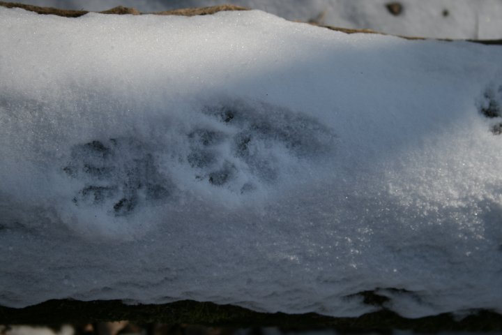 Racoon tracks on a log in the snow.