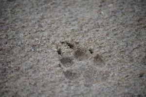 A coyote track is imprinted on a sandbar