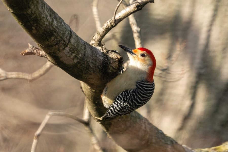 A red-bellied woodpecker inspects a tree branch, looking for its next meal.