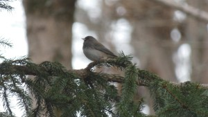 A dark-eyed junco sits among the branches of a pine tree.