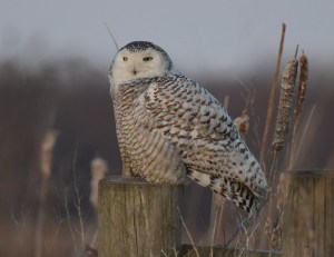 A white and brown snowy owl sits on a wooden fence post.