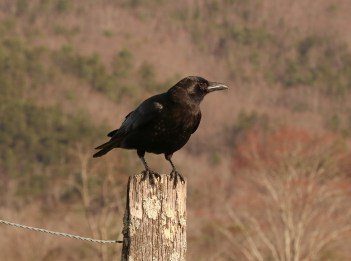 A black American crow perches on a wooden fence post.