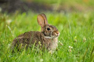 A rabbit sits in the grass.