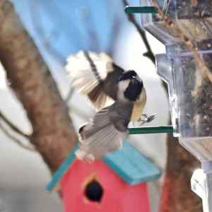 A Chickadee is in the midst of landing at a bird feeder.