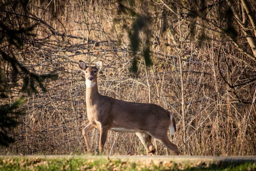 A white-tailed deer pauses on a trail, looking directly at the camera.