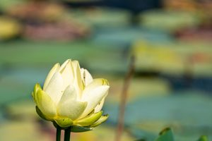 A lotus flower blooms on a sunny summer day.