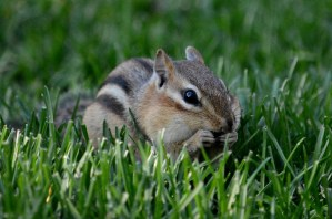 A chipmunk sits in the grass, eating a nut.