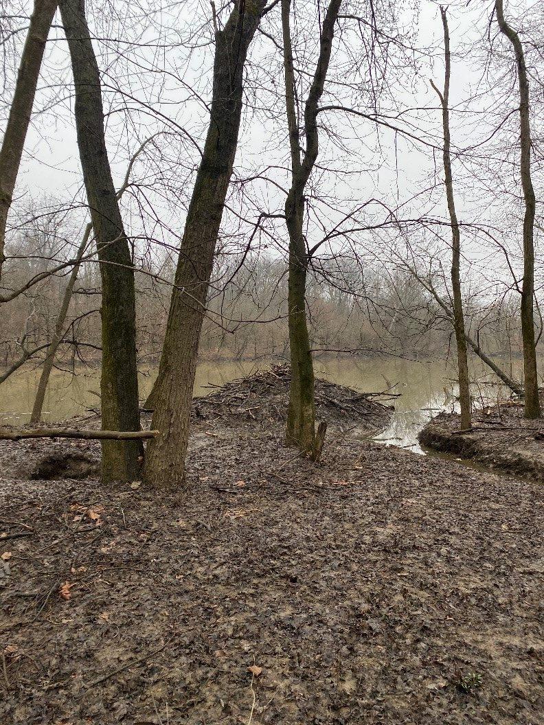 A beaver lodge sits on the shoreline of a lake.