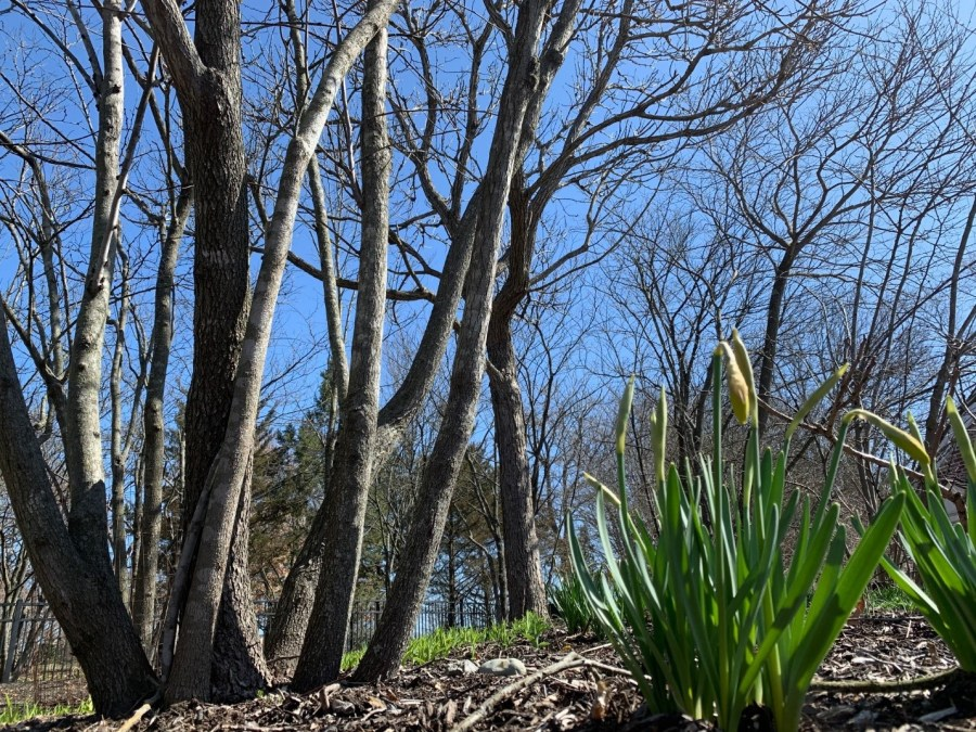 Red bud trees and daffodils begin to bloom.