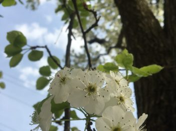 The white flowers of a Callery pear tree.