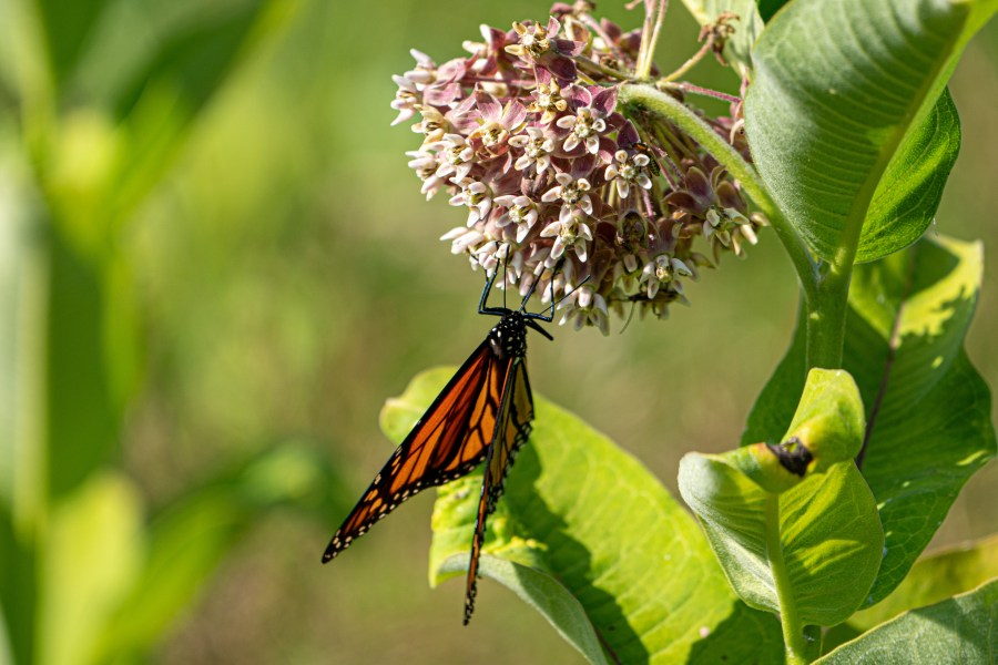 A monarch butterfly lands on a common milkweed plant.
