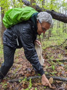 A man searches for a morel mushroom in the woods.