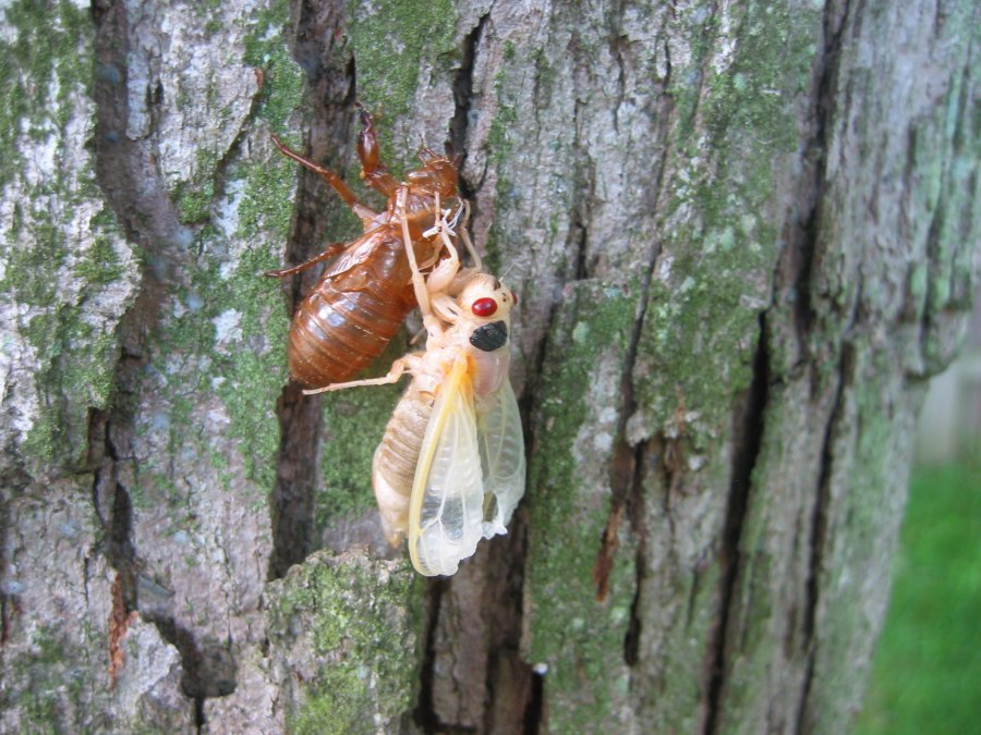 A Brood X cicada nymph clings to a tree while shedding its exoskeleton.
