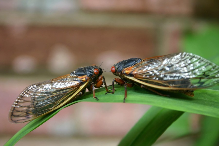 Two Brood X cicadas sit on a large leaf. They are facing each other.