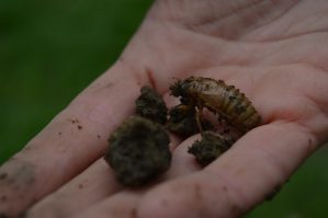 A cicada nymph was accidentally dug out of the ground during the Earth Day Tree Planting event.