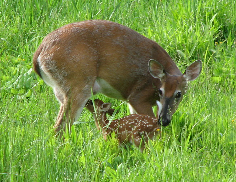 A doe and her young deer fawn stand in tall grass.