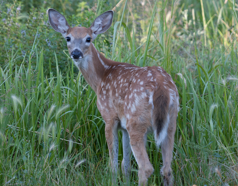 A deer fawn turns its head toward the camera as it walks in a field.