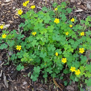 The green clover-like leaves and yellow flowers of the wood sorrel plant.