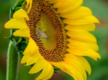 A bright yellow sunflower is fully open.