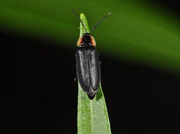 A lightning bug sits on a blade of grass.