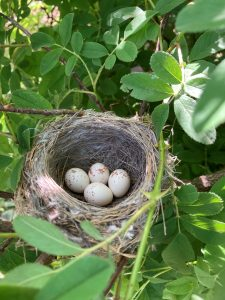 A bird's nest with four eggs sits in a Rose palustris hedge.
