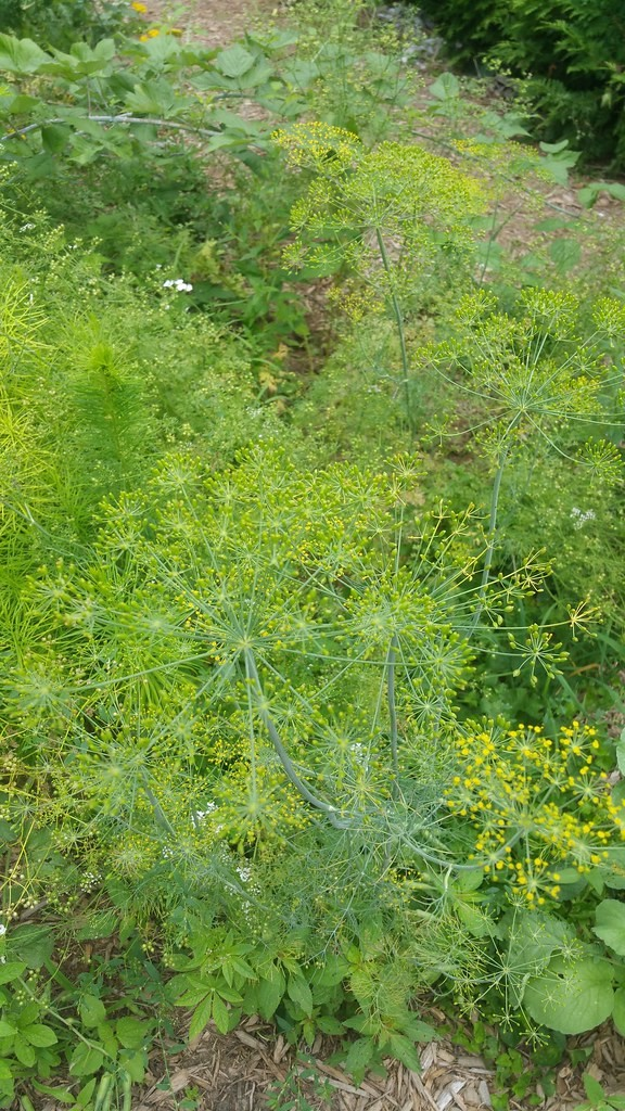 A dill plant.