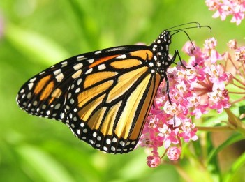 An orange monarch butterfly sits on a pink flower, sipping nectar.