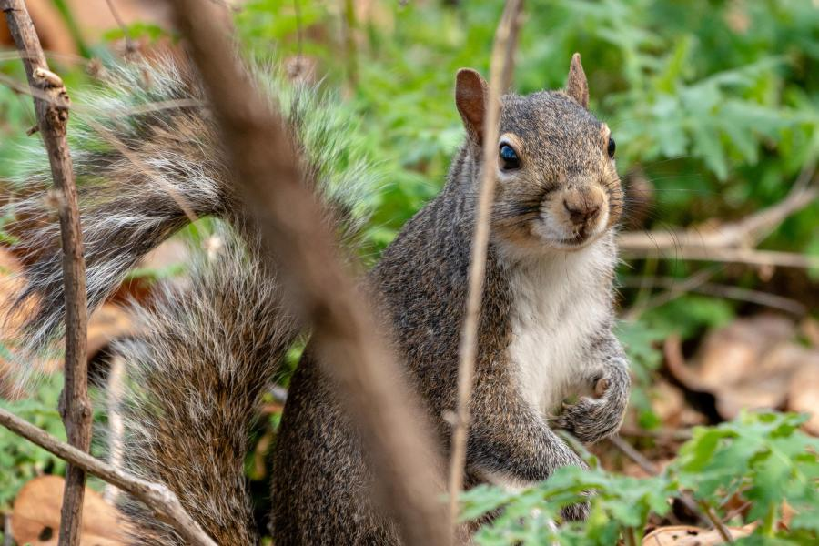 A squirrel looks through some forest floor debris; it is looking at the camera.