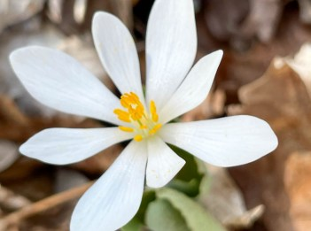 A blooming white bloodroot flower.