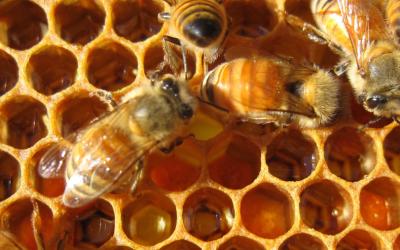 Cannahoney, la miel de cannabis