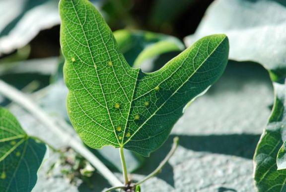 passionvine-leaf