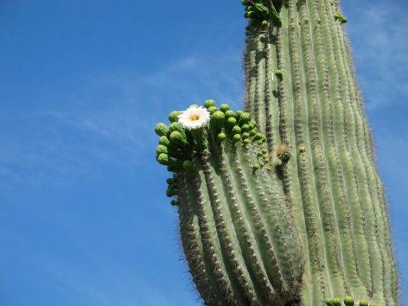 saguaro-flower