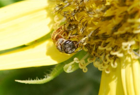 sunflower-bee2