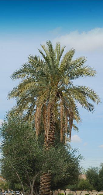 date-palm1