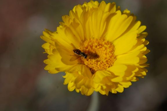 flower-fly-march1