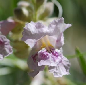 willowflower