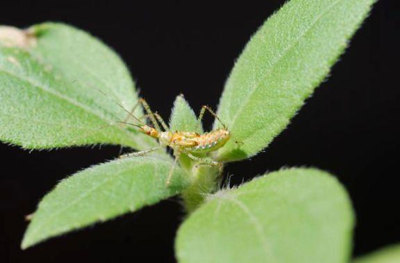 assassin-bug